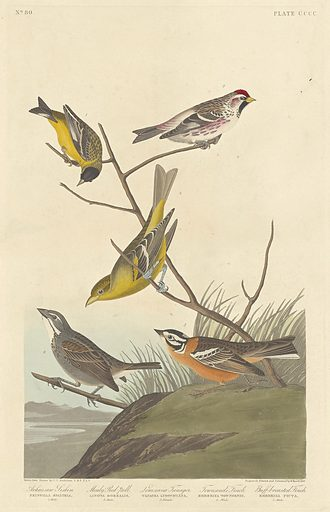 Arkansaw Siskin, Mealy Red-poll, Louisiana Tanager, Townsend's Finch and Buff-breasted Finch. Date: 1837. Accession number: 1945.8.400.