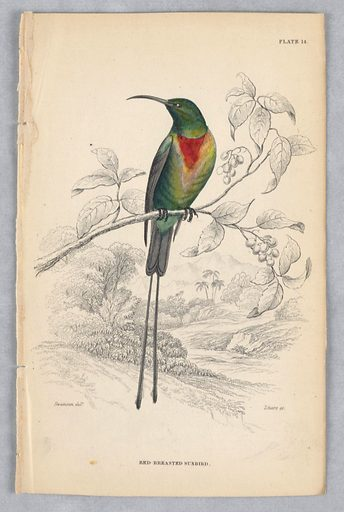 Green bird on a branch with fruit. Tropical background. He has gray wing and tail, including two long tail feathers. Red and yellow patch at throat. Title and artists' names below. Print maker: William Home Lizars, Scottish, 1788 – 1859. Made in: Edinburgh, Scotland. Date: 1830s. Record ID: chndm_1961-105-172.