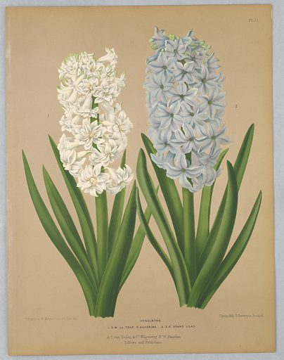 """Disbound color plate """"Hyacinths"""" from A. C. Van Eeden's """"Flora of Haarlem."""". Print maker: G. Severeyns, Belgian, active 1870 – 1879. Made in: Netherlands. Date: 1880s. Record ID: chndm_1961-105-377."""