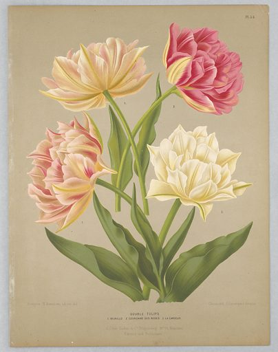 """Disbound color plate """"Double Tulips"""" from A. C. Van Eeden's """"Flora of Haarlem."""". Print maker: G. Severeyns, Belgian, active 1870 – 1879. Made in: Netherlands. Date: 1880s. Record ID: chndm_1961-105-380."""