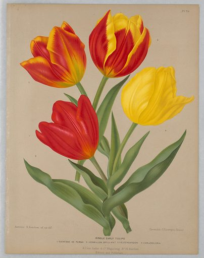 """Disbound color plate """"Single Early Tulips"""" from A. C. Van Eeden's """"Flora of Haarlem."""". Made in: Belgium. Date: 1880s. Record ID: chndm_1961-105-385."""