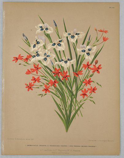 """Disbound color plate """"Anomatheca Cruenta, Vieusseuxie Pavonia (Iris Pavonia–Moreaea Pavonia)"""" from A. C. Van Eeden's """"Flora of Haarlem."""". Made in: Belgium. Date: 1880s. Record ID: chndm_1961-105-395."""