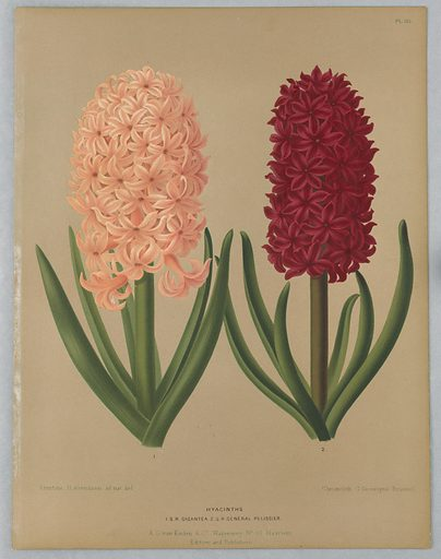 """Disbound color plate """"Hyacinths: I.S.R. Gigantea and Général Pelissier"""" from A. C. Van Eeden's """"Flora of Haarlem."""". Made in: Belgium. Date: 1880s. Record ID: chndm_1961-105-397."""