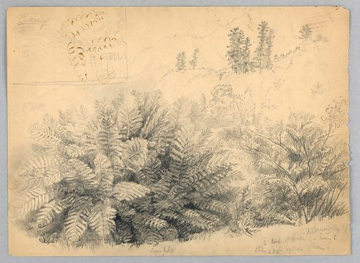Large clump of ferns, lower left. Other plants, lower right, with ridges rising above. At upper left, inset tracing of a young fern. Verso: Light sketch of Saco River, with trees on both banks. Made in: USA. Date: 1850s. Record ID: chndm_1942-50-469.