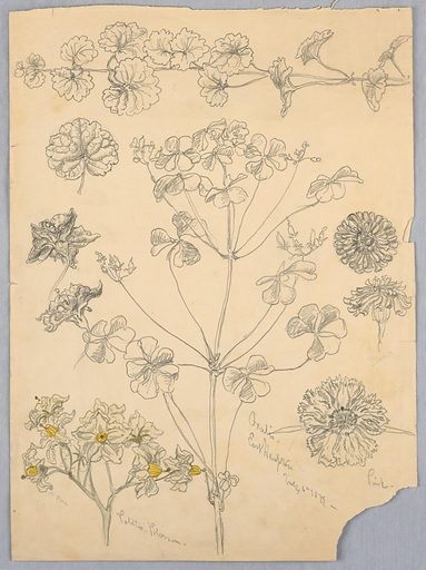 Studies of oxalis, zinnia, and potato blossom. Verso: sweet pea; also, sketches for a monogram. Made in: USA. Date: 1880s. Record ID: chndm_1939-85-94.