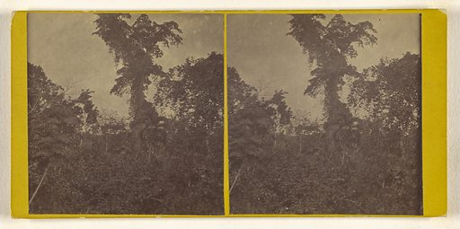 Tree covered with Pansite Vines on the Sassardi river. US Darien Expedition. Date: 1870. Culture: American. Object number: 84.XC.1112.20.