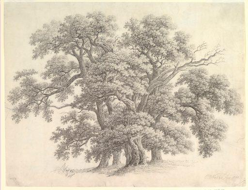 Study of Oak Trees (recto)