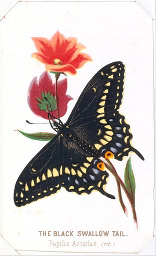 The Black Swallowtail from The Butterflies and Moths of America Part 3 (1862). Accession number: 51.650.14(5).