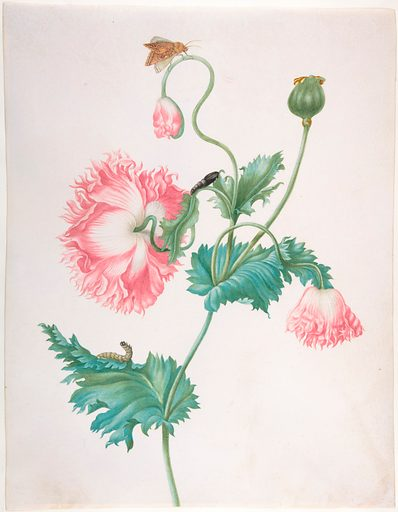 A Poppy in Three Stages of Flowering, with a Caterpillar, Pupa and Butterfly (late 17th–early 18th century). Accession number: 2005.4.