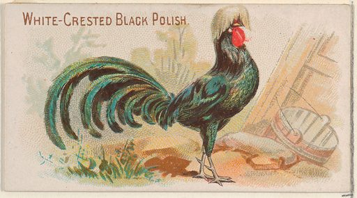 White-Crested Black Polish, from the Prize and Game Chickens series (N20) for Allen & Ginter Cigarettes (1891). Accession number: 63.350.201.20.48.