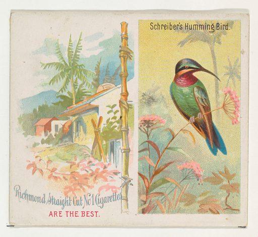 Schreiber's Hummingbird, from Birds of the Tropics series for Allen & Ginter Cigarettes