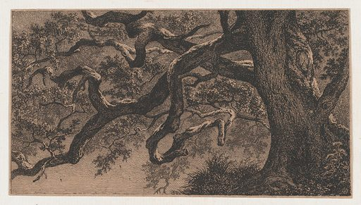 The Branches of an Oak Tree