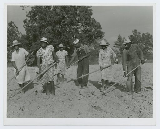 The family of Mr Leroy Dunn, chopping cotton in a rented field near White Plains, Greene County, Georgia, June 1941. Date: 1941–06. Collection: Farm Security Administration Collection, Georgia, Jack Delano. Image ID: 1260070.