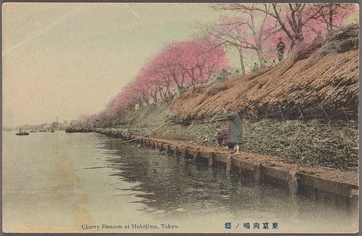 Cherry blossom at Mukojima, Tokyo