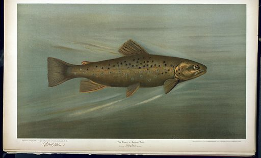 The Brown or German Trout, Salmo fario