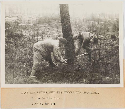 Photographie de propagande: deux jeunes des chantiers de jeunesse coupant un pin dans les Landes. Date de création: 1943. Numéro d'object: CARPH045221.