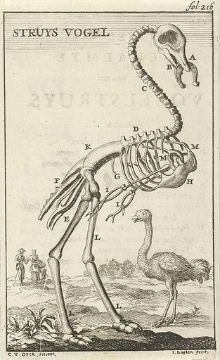 Skeleton of an ostrich
