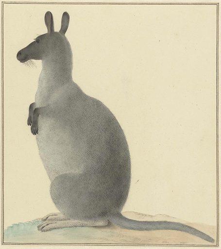 Kangaroo. Date: 1763 – 1834. Object ID: RP-T-1948-719.