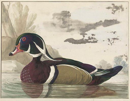 Carolina duck. Date: 1771. Object ID: RP-T-00-1816.