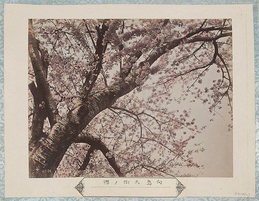 Large cherry blossom tree from Mukaijima in Kyoto