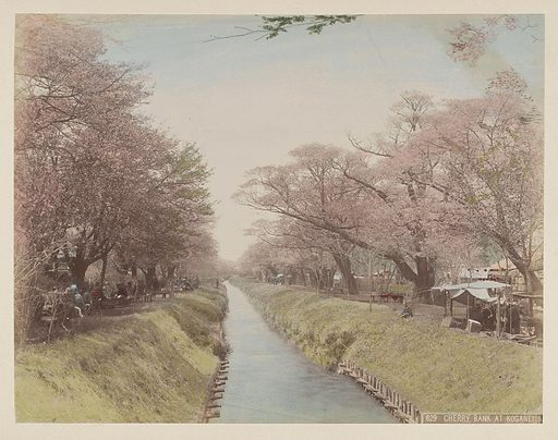 River with trees in blossom on the banks and people at Koganei