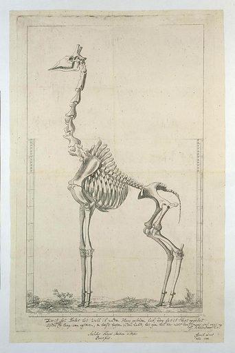 Giraffa Camelopardalis (Giraffe) skeleton
