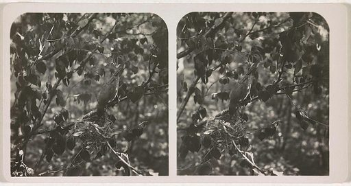 Golden oriole building a nest in a tree. Origin: unknown. Date: c 1870 – c 1940. Object ID: RP-F-2001-8-64.