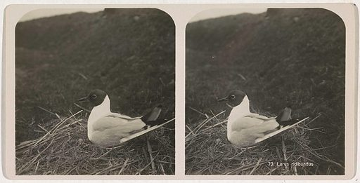 Black-headed gull breeding on nest. Origin: unknown. Date: c 1870 – c 1940. Object ID: RP-F-2001-8-90.