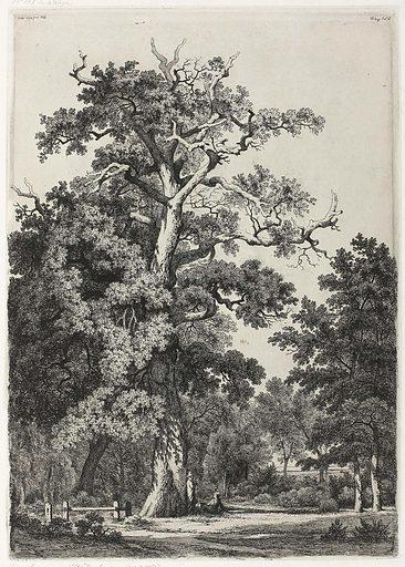 Old oak in Bois de Boulogne