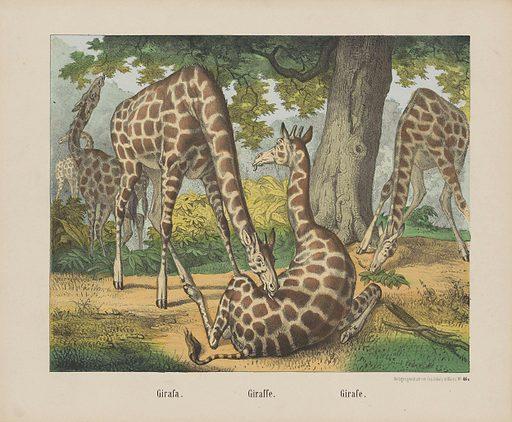 Girafa. / Giraffe. / Girafe.