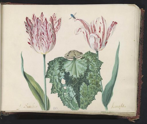 Two tulips with shell and large leaves