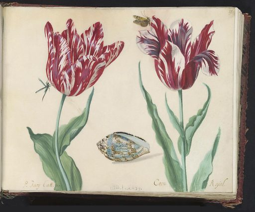 Two tulips with shell, butterfly and fly
