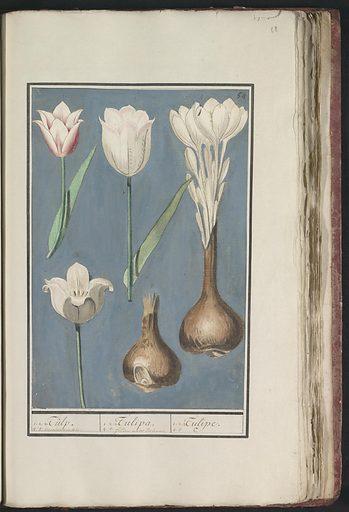 Tulip (Tulipa). Origin: Delft. Date: 1596 – 1610. Object ID: RP-T-BR-2017-1-8-68.