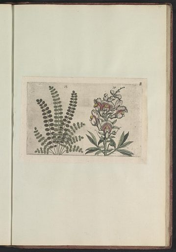 Lesser burnet (Sanguisorba minor) and large snapdragon (Antirrhinum majus). Origin: Southern Netherlands. Date: 1640. Object ID: RP-T-BR-2017-1-12-75.