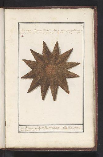 Starfish (Asteroidea)