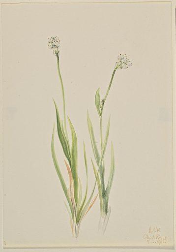 Bog-Asphodel (Tofieldia intermedia). Date: 1920s. Record ID: saam_1970.355.280.