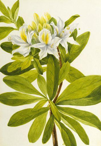 Western Azalea (Rhododendron occidentale). Date: 1940s. Record ID: saam_1970.355.83.