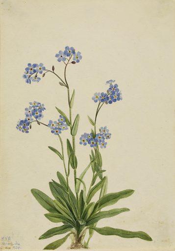Alpine Forget-me-not (Myosotis alpestris). Date: 1920s. Record ID: saam_1970.355.689.