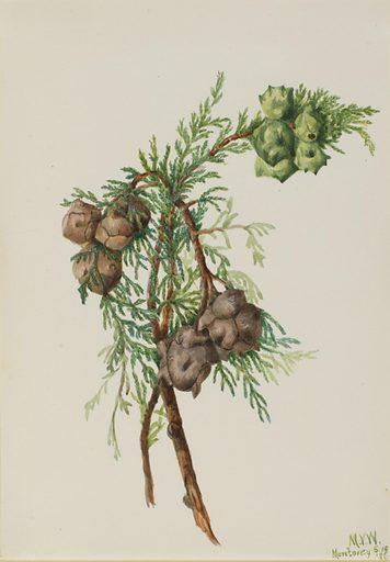 Monterey Cypress (Cupressus macrocarpa). Date: 1930s. Record ID: saam_1970.355.40.