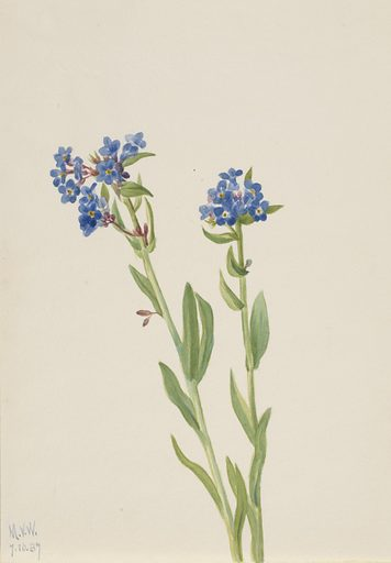 Alpine Forget-Me-Not (Myosotis alpestris). Date: 1930s. Record ID: saam_1970.355.92.