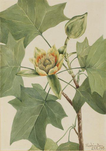 Tuliptree (Liriodendron tulipifera). Date: 1910s. Record ID: saam_1970.355.386.