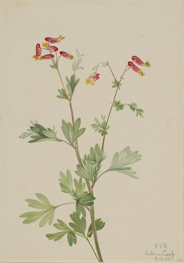 Pink Fumeroot (Capnoides sempervirens). Date: 1920s. Record ID: saam_1970.355.344.