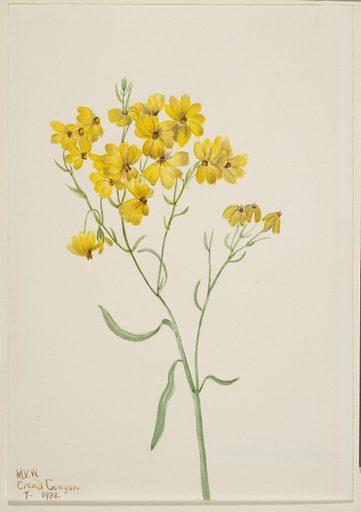 Psilostrophe sparsiflora. Date: 1930s. Record ID: saam_1970.355.121.