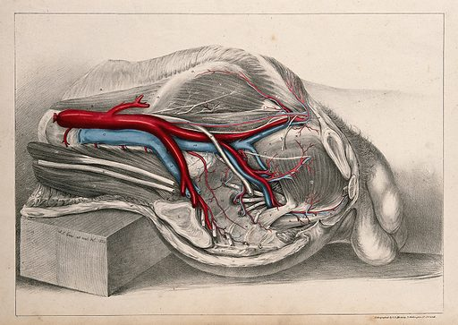 Iliac arteries: dissection of the abdomen of a male. Coloured lithograph by GE Madeley after AA Cane, 1834. Created 1834. Veins. Arteries. Human anatomy. Contributors: A A Cane; George Edward. Madeley. Work ID: ch56rtfx.
