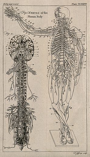 The nervous system: two figures showing the brain, spine and nerves, and and an écorché figure with the nervous system indicated. Engraving by T Jefferys, ca 1763. Created 1763?. Human anatomy. Contributors: Thomas Jefferys (-1771). Work ID: wvhmw3dc.