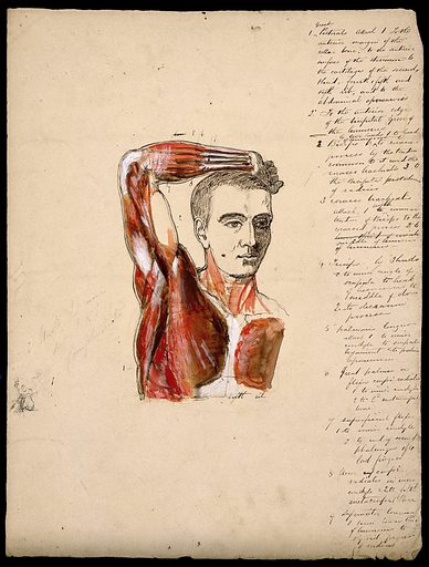 Muscles of the arm, shoulder and chest, front view: male écorché figure holding right arm over his head. Ink and watercolour with laminated flaps, 18 –. Created 1800–1899. Human anatomy. Work ID: mzdy7v3w.