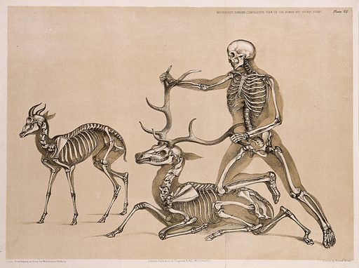 Skeleton of an antelope, with that of a man, who is shown restraining the skeleton of a seated stag by kneeling on the …
