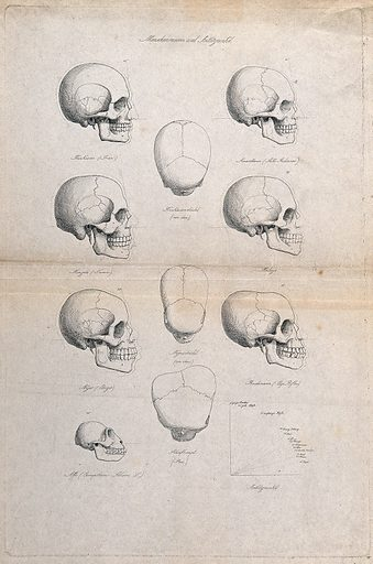 Human skulls of different racial types: eleven figures also including the skull of an ape, and a graph demonstrating …