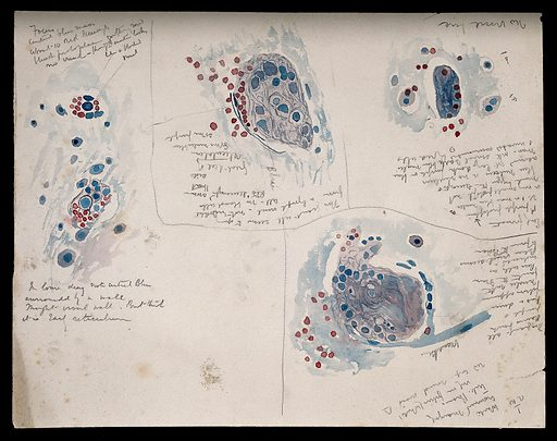 Brain of a white-crowned mangabey: four figures showing microscopic details of the brain. Watercolour, possibly by D Gascoigne Lillie, ca 1906. Created 1906. Anatomy. Contributors: Denis Gascoigne Lillie (1888–1963). Work ID: esjq9qwk.