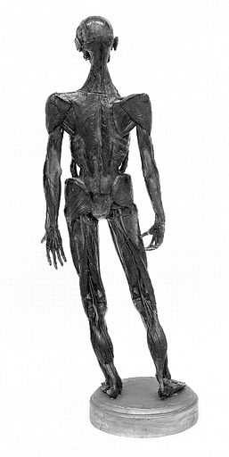 Anatomical figure in wax, Italian, 18th century. Anatomical figure in wax to show the bones and related muscles, Italian: posterior view. Work ID: pdk7w7j5.